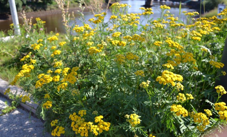 Gelbe Pflanzen, im Hintergrund ein Fluss.