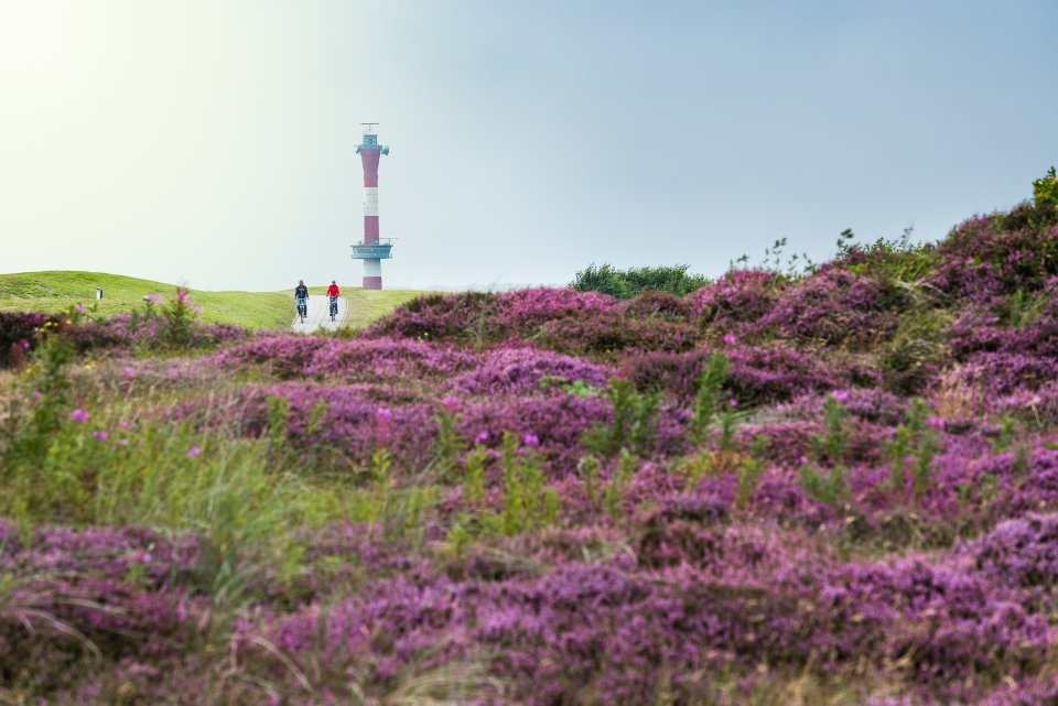 Eine Wiese mit lila Blumen. Im Hintergrund ist blauer Himmel, ein rot weißer Leuchtturm und ein Fahrradweg zu sehen, auf dem zwei Radfahrer fahren.