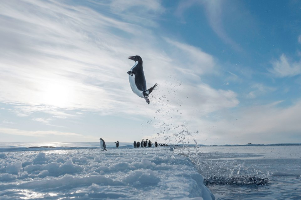 Ein Adeliepinguin springt aus dem Wasser in der Antarktis.