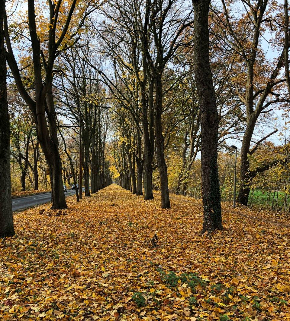 Eine Baumallee, an dessen linker Seite eine Straße verläuft. Der Boden ist von bunten Blättern bedeckt.