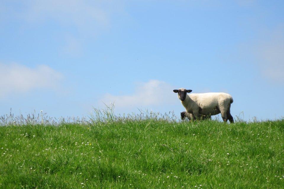 Schaf und Lamm stehen auf einem Deich.