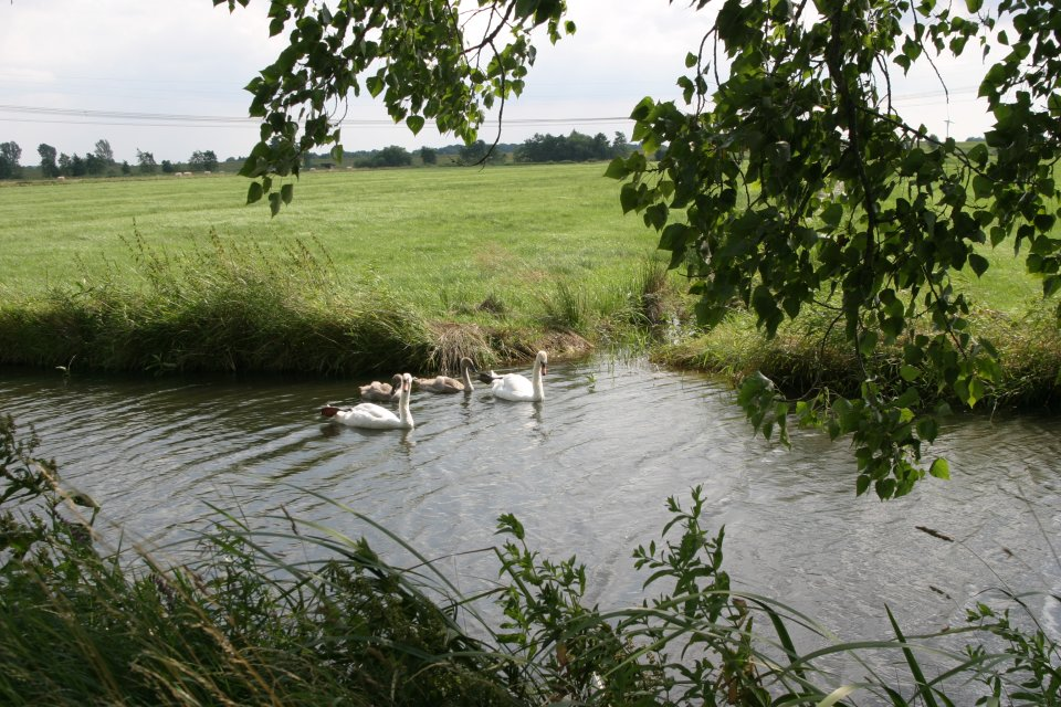 Zwei weiße Schwäne im Wasser; Quelle: I. Brettmann